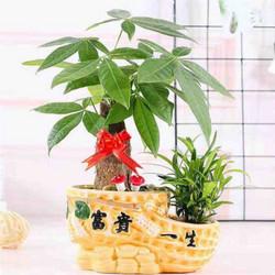 室内盆栽 发财树+罗汉松(含盆) 18.8元包邮(2人拼,需用券)