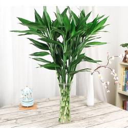 富贵竹水培植物盆栽 20支装 14.8元包邮(2人拼,需用券)